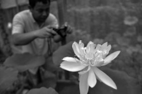 600年前元末明初的莲子开花了