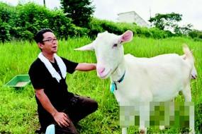 日本流行租用山羊除草 环保又省钱