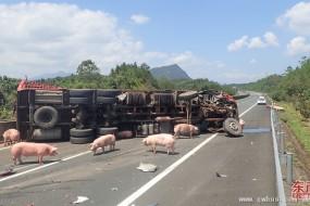 运输车侧翻 百多头猪在高速撒欢