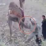 一骆驼听到美军士兵要杀它 起脚就踢