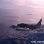 恐怖杀人鲸群包围渔船