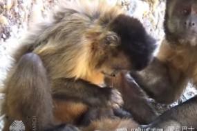 巴西卷尾猴太聪明 竟会用工具剔牙挖鼻屎