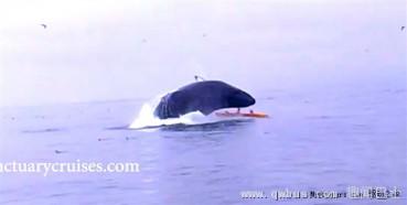 """座头鲸跃出""""问好"""" 压翻小皮划艇"""