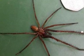 巨型蜘蛛袭击英国 大如老鼠