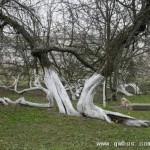 乌克兰一棵220岁神奇苹果树长成树林