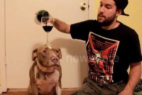 比特犬秀绝技 脑门顶酒杯倒酒