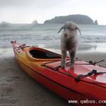 新西兰小羊长的像小狗迷恋沙滩
