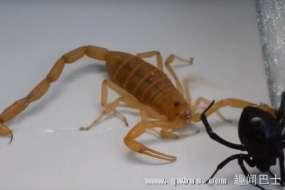 毒虫争霸:杀人蝎猎杀毒蜘蛛