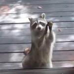 浣熊没食物竟然自己敲门讨食