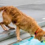 狗狗专用泳池享受消暑福利