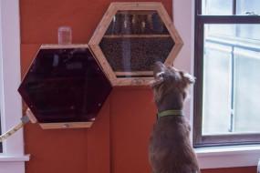 原来蜜蜂也能当宠物养