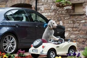 小狗酷爱开车 有自己专属劳斯莱斯座驾