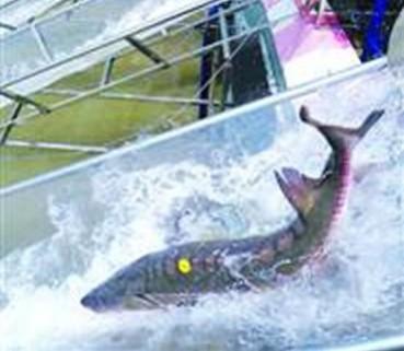 上海长江口出现大批濒危中华鲟幼鱼
