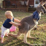 宝宝与袋鼠成为亲密好友