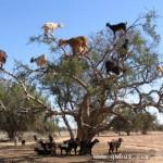 为了吃果子山羊学会了上树