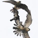两猎鹰争夺一只鸽子引发空中大战
