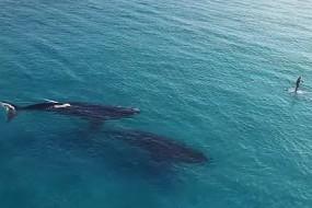 巨鲸面前的冲浪者就像一片树叶