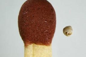 世界最小蜗牛:针眼里能放10个