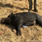 美国猎人捕到怪异野猪 内脏为蓝色