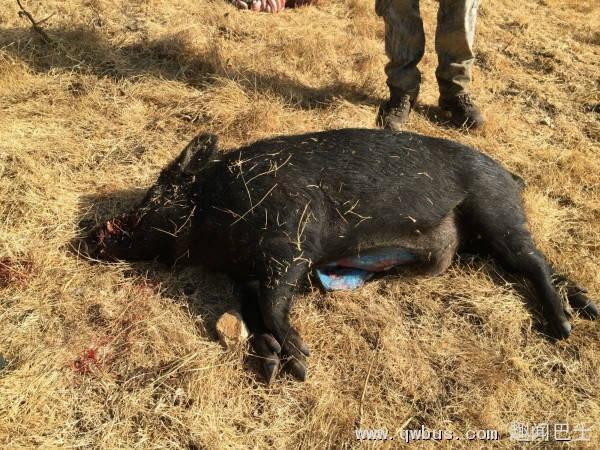 美国猎人捕到野猪 剖开肚子竟是蓝色-趣闻巴士