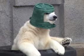 小北极熊酷爱戴绿帽  玩耍睡觉都形影不离
