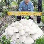 日本现巨型蘑菇 直径达1.2米