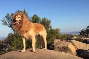 主人给狗狗拍特效视频 金毛秒变狮子