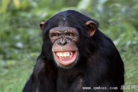 研究发现黑猩猩竟能看懂电影并预测情节