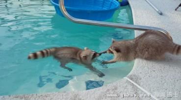 爱操心的浣熊哥哥把贪玩弟弟从水池里拽上来