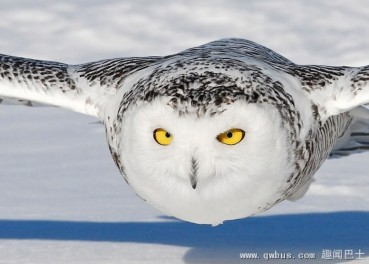 冷酷杀手雪鸮捕小鼠  不眨眼睛