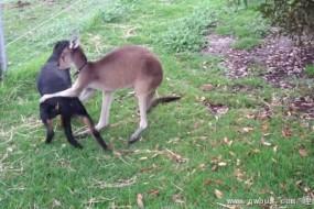 热情袋鼠不停抚摸小狗 俩萌物一起快乐玩耍