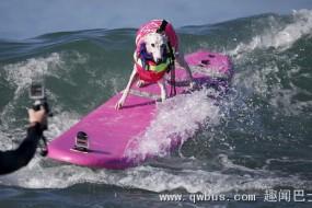 美国狗狗冲浪大赛亮绝技
