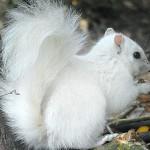 摄影师拍到精灵般白色小松鼠