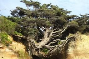 美国奇树悬空生长