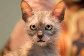 基因突变:狼猫性格忠诚长得像狼