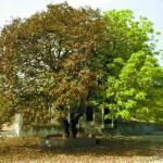 湖南阴阳奇树:枯萎和茂盛对比鲜明