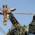 长颈鹿搬家忙坏饲养员 一路挑电线护驾