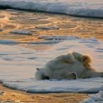 广袤冰原上一只孤独北极熊被困浮冰