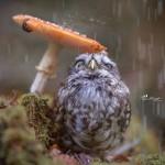 小猫头鹰躲在蘑菇伞下避雨