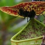 神奇猪笼草可将昆虫弹入陷阱