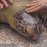 百岁老海龟被捕获  男子重金买下放生