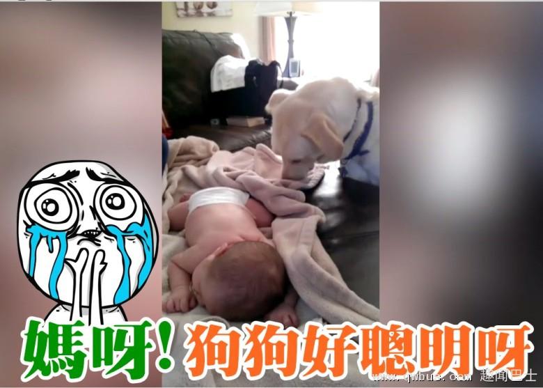 拉布拉多犬像是知道少主没有盖上被子,竟用鼻把被子不住推在他身上。