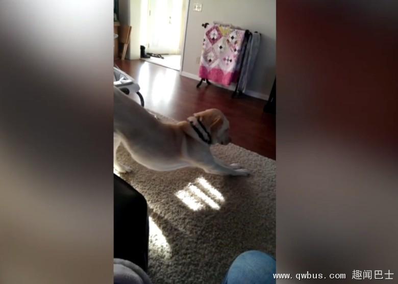 成功为少主盖上被子后,狗狗才施施然伸懒腰。