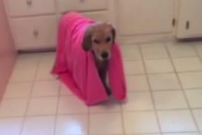 金毛爱洗澡 竟然还会用浴巾自己擦干