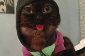 吐舌猫咪网上火了 爱穿各种时装