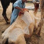 骆驼美容师在骆驼身上修剪超级精美图案