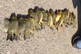 相思鸟集体撞墙死亡 或因玻璃幕墙误导