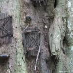 印尼奇异风俗夭折婴儿葬树洞
