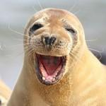 摄影师抓拍一群海豹玩耍鼓掌大笑萌照