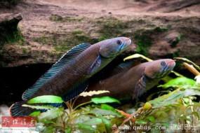 喜马拉雅山脉发现众多新物种:会走路的鱼